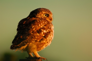 The Little Owl
